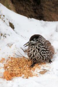 uccelli-7 gazza nocciolaia Guido Riva, 1952, 6774 Dalpe